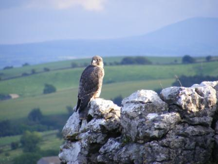 Peregrine Falcon at Malham 2007 by Joe Cuthbert
